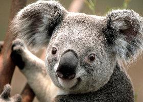 Koala_show
