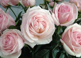 Rose1_show