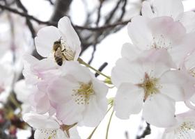 Blossom_show