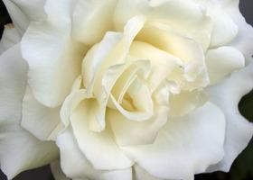 White_rose_show