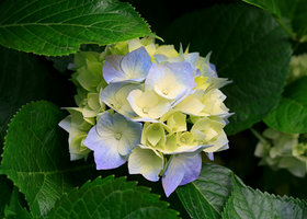 Hydrangeas_show