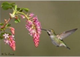 Annas-hummingbird-534a_show