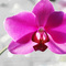 Orchid_thumb