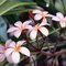 Frangipani_flowers_thumb