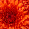 Chrysanthemum_thumb