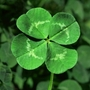 4leafclover_large
