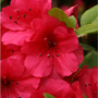 Azaleas_large