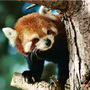 Red_panda_by_squire22_large