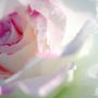 Rose_in_rain-2_large