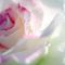 Rose_in_rain-2_thumb