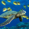 Green_sea_turtle_thumb
