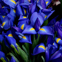 Irises_large