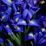 Irises_large
