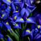 Irises_thumb