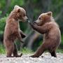Bears_large