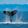Humpback_whale_large