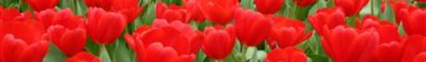 Tulpen_show