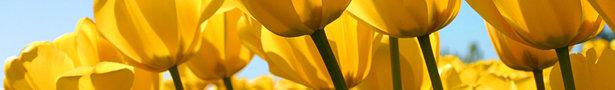 Tulips_show