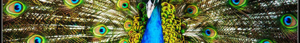 Animal-picture-peacock-laurence-shan_show