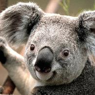 Koala_listing